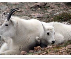 Mt. Evans - Mountain Goats Near Summit