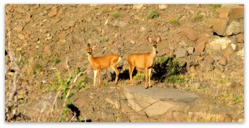 deer on table mountain