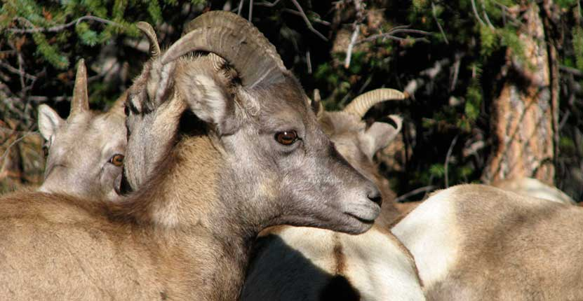 maroon-bells-bighorn-sheep