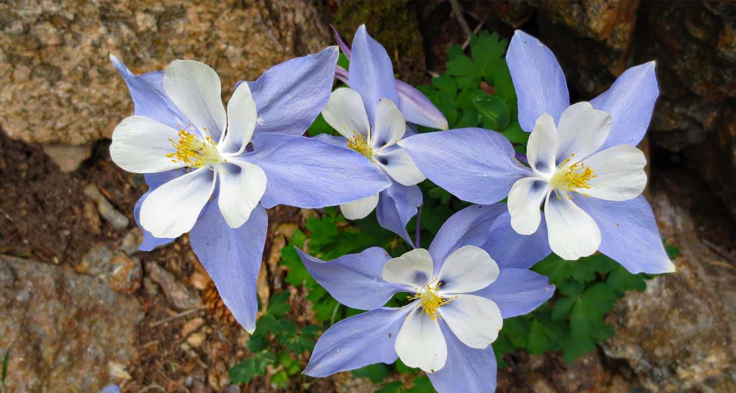 blue and white columbine wildflowers with granite background on hiking trail near denver colorado