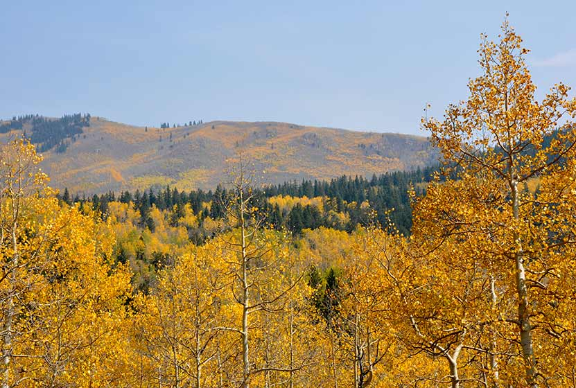 Changing Aspens at Kenosha Pass Colorado