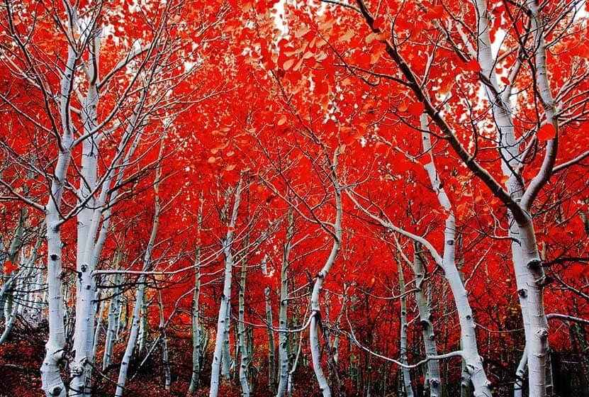 why do aspen trees turn red?