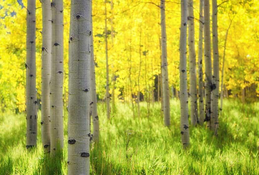 why do aspen trees turn yellow?