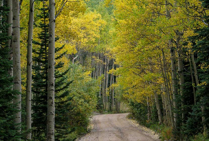 golden aspen trees with evergreen in foreground on dirt road indian peaks colorado
