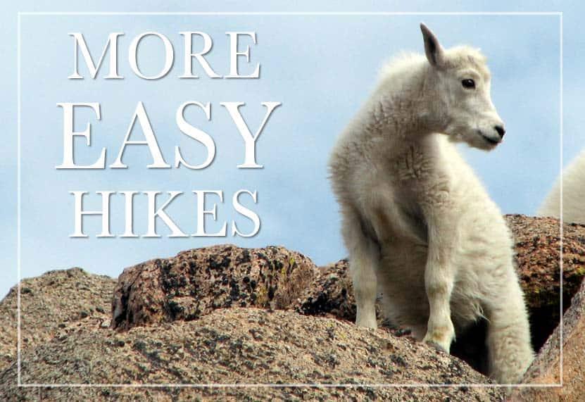 baby mountain goat on mount evans colorado more easy hikes