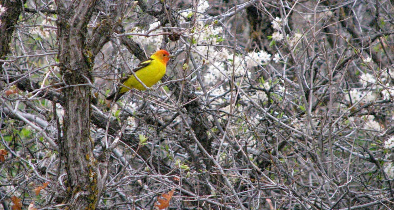 western tanager in scrub oak in roxborough state park near littleton colorado