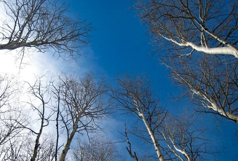aspen trees in winter against blue skies and clouds on bergen peak hike in colorado