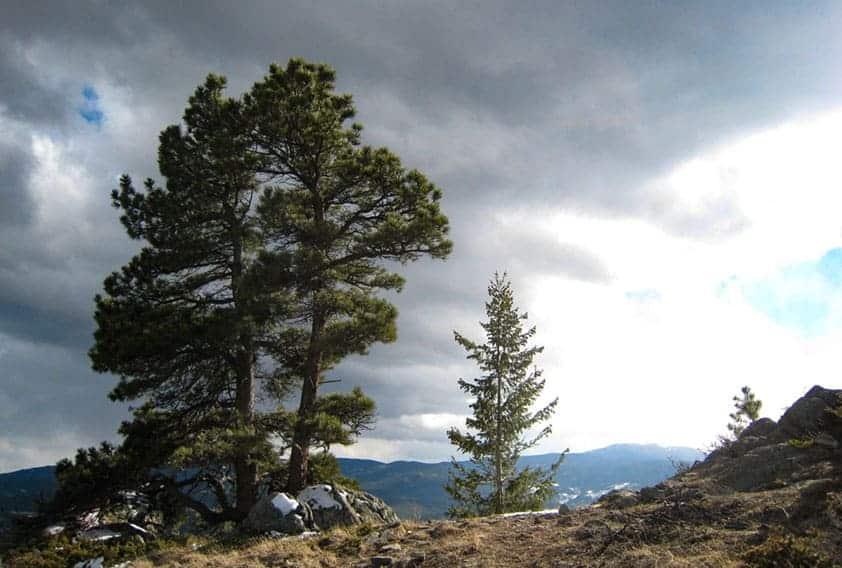 sunrise lighting up ponderosa pine near the summit of bergen peak on hike near evergreen colorado